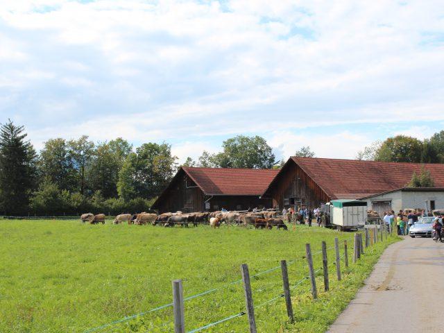 Alpabzug Brüschalp 2017 Allmeind Wangen